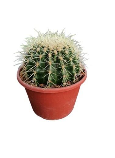 Çiçek Antalya Çiçek Antalya Ecactus Grusoniivaril Kaktüstop Kaktüs / 15 Cm Yeşil